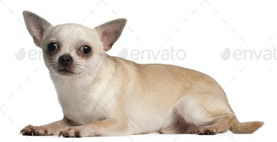 Chihuahua, 18 months old, lying down in front of white background