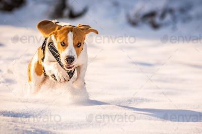 A Beagle dog running in a field in covered in snow. Sunset during winter