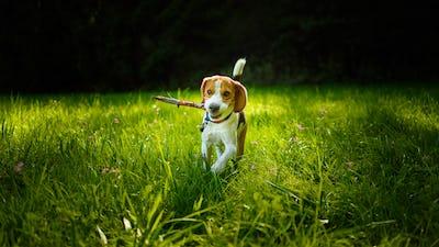 Dog run towards camera on a green grass outdoors fetching a stick