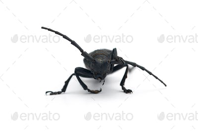 The weaver black beetle isolated on white background