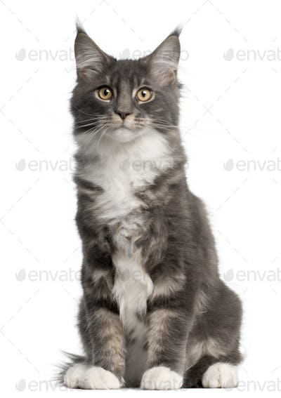 Maine Coon Kitten, 5 months old, sitting in front of white background