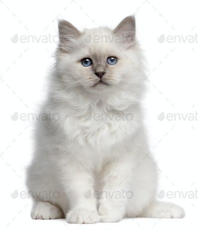 Birman kitten, 10 weeks old, sitting in front of white background