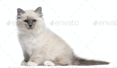 Birman kitten, 10 weeks old, sitting in front of white background