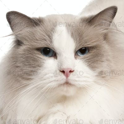 Close-up of Ragdoll cat, 2 years old, in front of white background