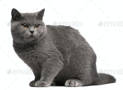 British Shorthair kitten, 6 months old, sitting in front of white background