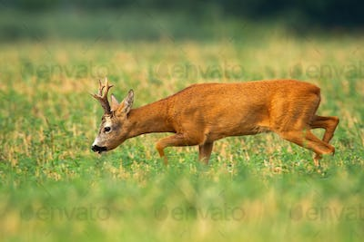 Roe deer buck walking with head down and sniffing for scent in rutting season