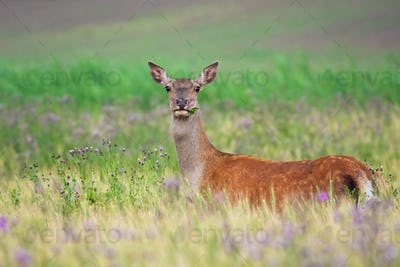 Red deer hind standing on green field and looking into camera in summer nature