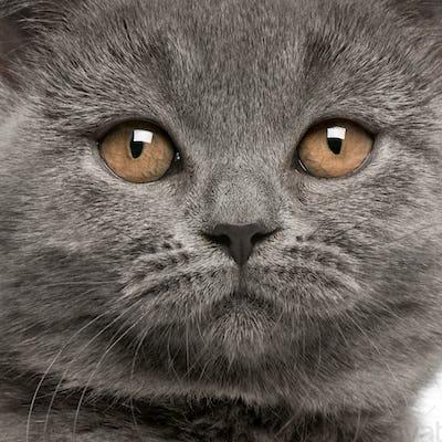 Close-up of British Shorthair kitten, 10 weeks old