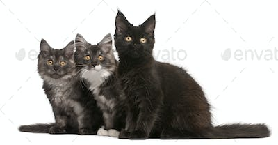 Maine Coon Kittens, 12 weeks old, sitting in front of white background