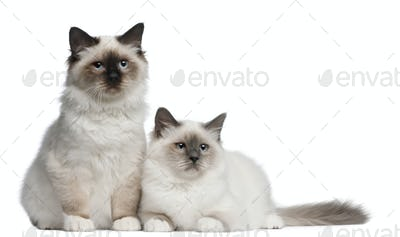 Birman Kittens, 4 months old, sitting in front of white background