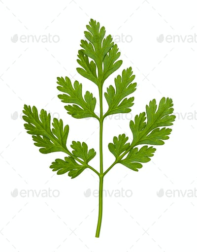 leaves of fresh Chervil herb isolated