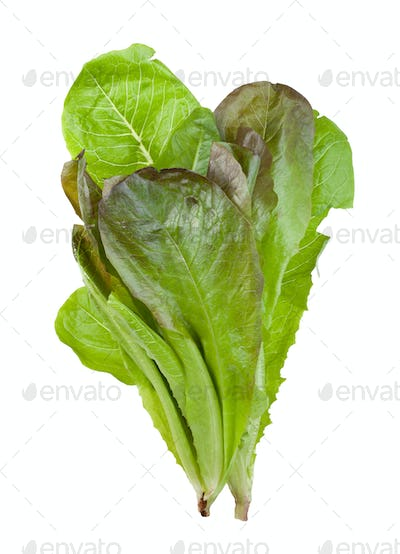 bunch of fresh green Romaine lettuce isolated