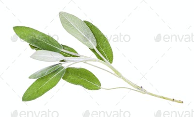 twig of fresh sage (salvia officinalis) isolated