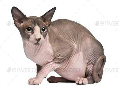 Sphynx cat, 18 months old, sitting in front of white background