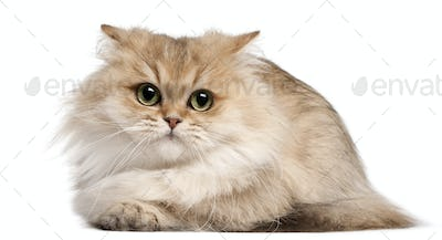 British Longhair cat, 3 years old, lying in front of white background