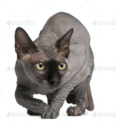 Sphynx cat, 11 months old, crouching in front of white background