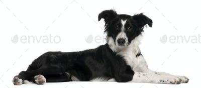 Border Collie puppy, 5 months old, lying in front of white background