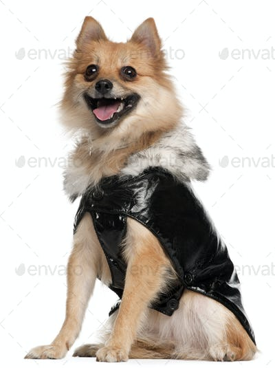 German Spitz dressed in leather, 22 months old, sitting in front of white background