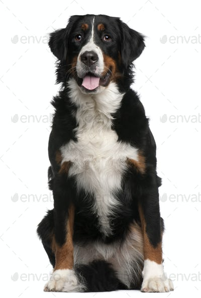 Bernese Mountain Dog, 16 months old, sitting in front of white background