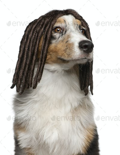 Australian Shepherd puppy wearing a dreadlock wig, 5 months old, in front of white background