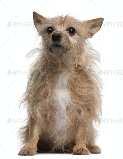 Chihuahua, 11 years old, sitting in front of white background