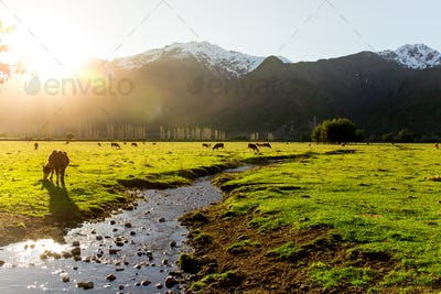 Argentine Chilean Patagonian landscape with freely grazing cows near a river. Group of cows in