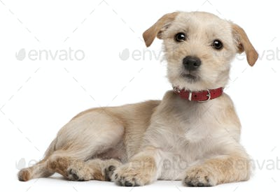Mixed-breed puppy, 3 months old, lying in front of white background