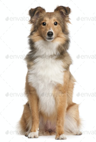 Shetland Sheepdog, 9 months old, sitting in front of white background