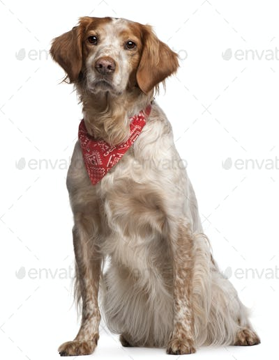 Mixed-breed dog wearing red handkerchief, sitting in front of white background