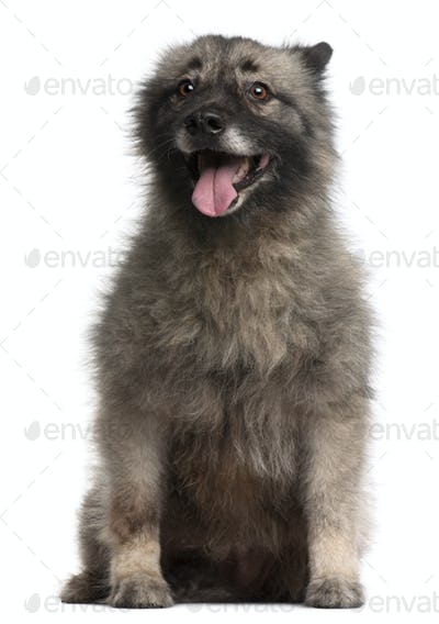 German Spitz, 11 years old, sitting in front of white background