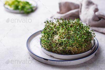 Microgreen sprouts of alfalfa. Healthy food