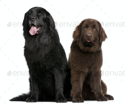Newfoundland dogs, 7  and 10 years old, sitting in front of white background