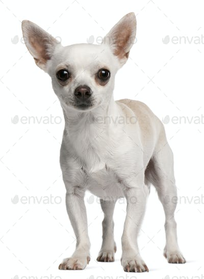 Chihuahua, 15 months old, standing in front of white background