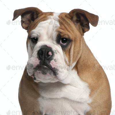 English bulldog, 6 months old, in front of white background