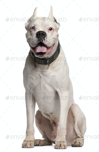 Boxer with ears cut, 1 year old, sitting in front of white background