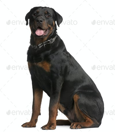 Rottweiler, 9 months old, sitting in front of white background