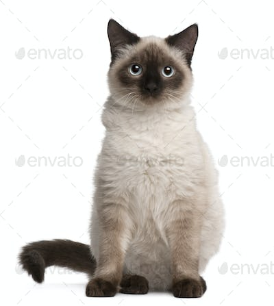 Birman cat, 5 months old, sitting in front of white background
