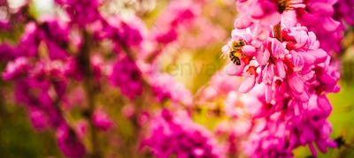 Honey bee collecting pollen from pink flowers. Important for environment ecology sustainability
