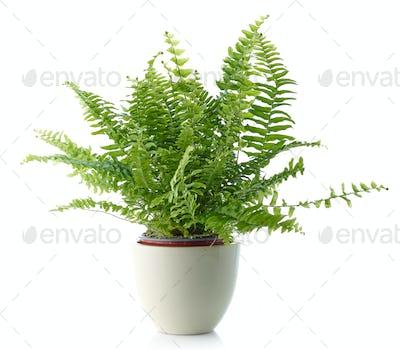 fern in a white flower pot