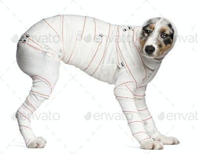 Australian Shepherd puppy in bandages, 5 months old, standing in front of white background