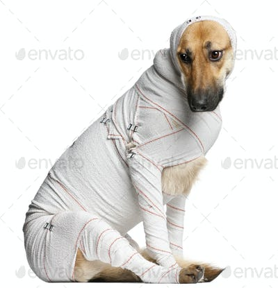 German Shepherd puppy in bandages, 4 months old, sitting in front of white background