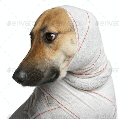Close-up of German Shepherd puppy in bandages, 4 months old, in front of white background