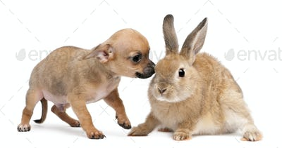 Chihuahua puppy playing with rabbit in front of white background