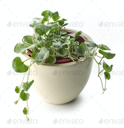 dichondra silver falls plant