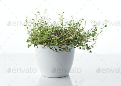 muehlenbeckia plant in white flower pot