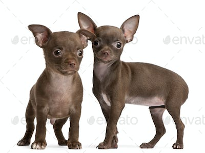 Chihuahua puppies, 10 weeks old, standing in front of white background