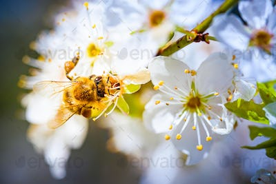 Close-up photo of a Honey Bee gathering nectar and spreading pollen on white flowers of white cherry