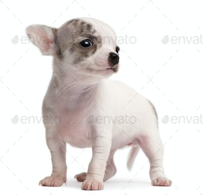 Chihuahua puppy, 10 weeks old, standing in front of white background
