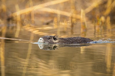 Coypu swimming in the water near riverside with reed