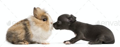 Chihuahua puppy, 6 weeks old, and rabbit in front of white background